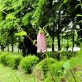 高松の池ヤマホタルブクロ(3)