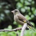 カワラヒワ若鳥