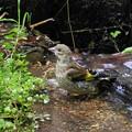 カワラヒワ幼鳥(1)