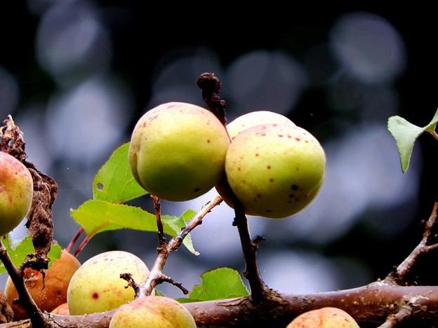 高松の池、梅の実(7)