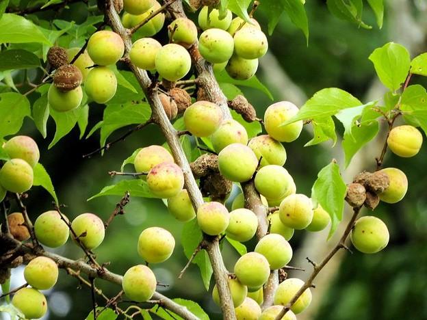 高松の池、梅の実(8)