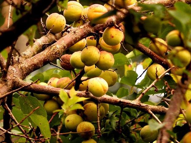 高松の池、梅の実(9)