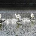 高松の池、白鳥 (2)