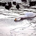 Photos: 高松の池、白鳥 (1)