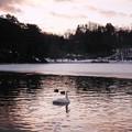 Photos: 高松の池、白鳥 (4)