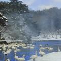 Photos: 高松の池、白鳥 (5)
