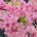 早春桜発見!