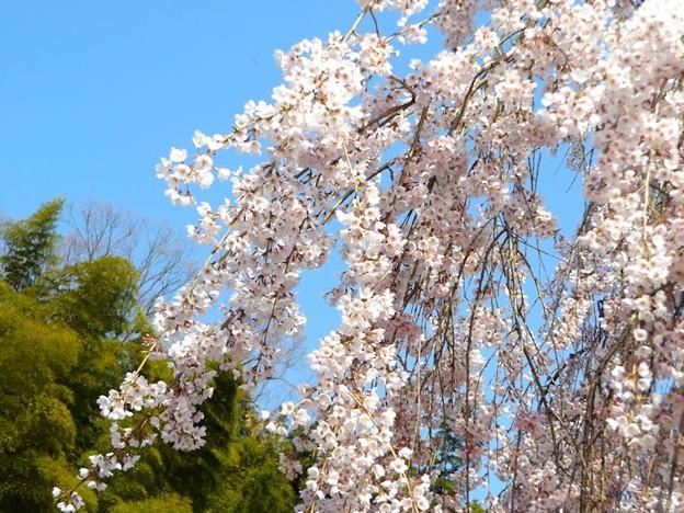 舞鶴市吉田しだれ桜(3)