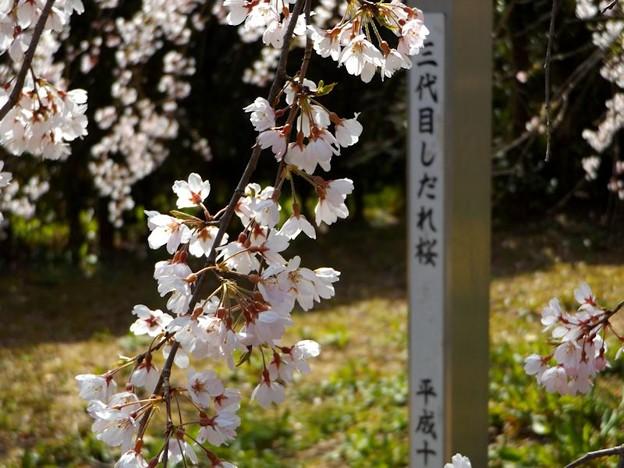 舞鶴市吉田しだれ桜(4)