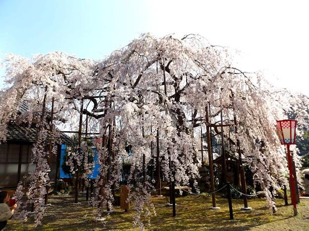 舞鶴市吉田しだれ桜(5)