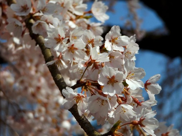 舞鶴市吉田しだれ桜(6)