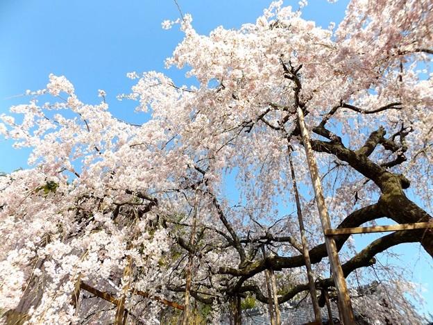 舞鶴市吉田しだれ桜(8)
