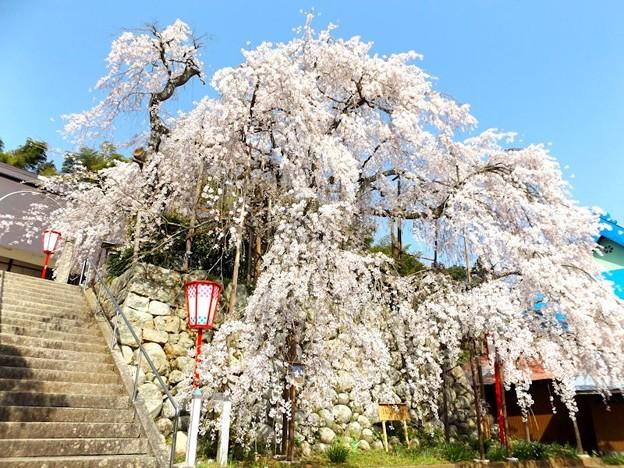 舞鶴市吉田しだれ桜(9)