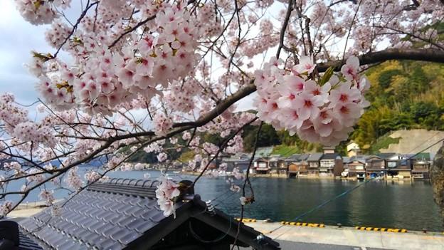 桜咲く伊根浦(4)