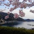 桜咲く伊根浦(5)