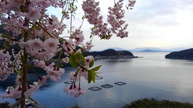 桜咲く伊根浦(8)