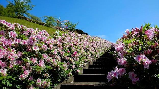 ツツジ咲く舟屋の里公園(1)