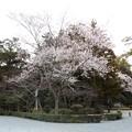 写真: 桜(1)