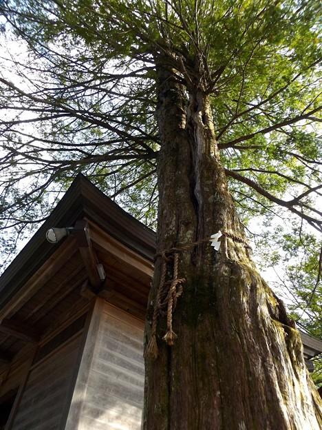 浅間神社(忍草)御神木