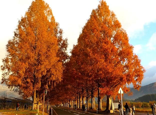 色づくメタセコイア並木(1)
