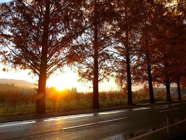 夜明けのメタセコイア並木(1)