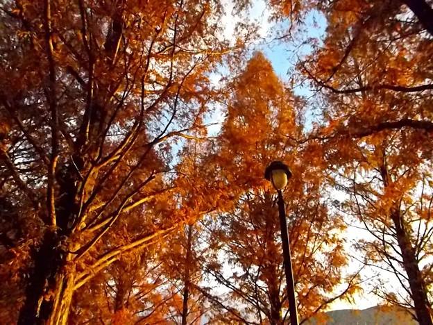 色づくメタセコイア並木(3)