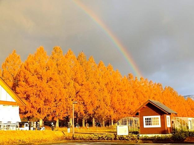 メタセコイア並木に掛かる虹