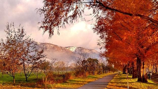 冠雪したマキノ高原と色づくメタセコイア並木
