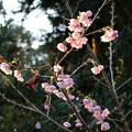 Photos: 参道脇の梅の花