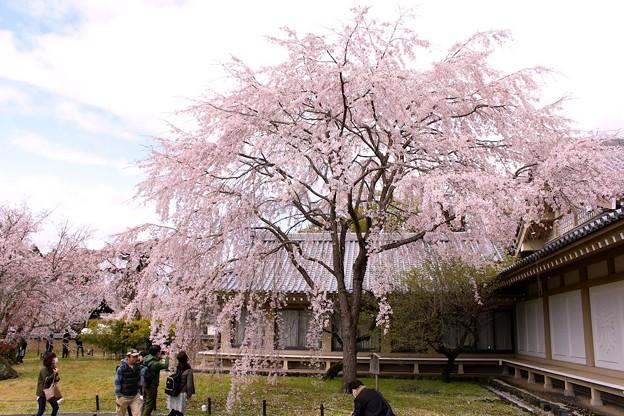 霊宝館庭園のしだれ桜(1)