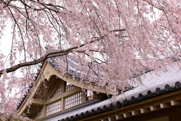 霊宝館庭園のしだれ桜(2)
