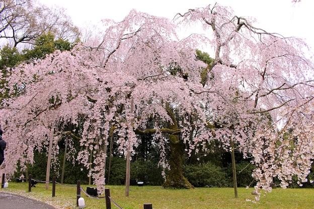 霊宝館庭園のしだれ桜(3)