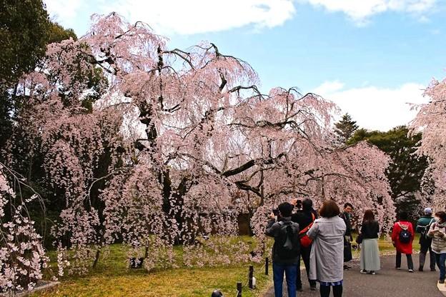 霊宝館庭園のしだれ桜(4)