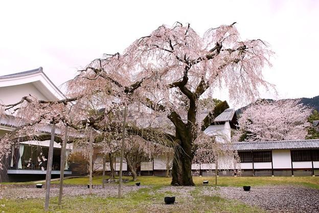 霊宝館庭園のしだれ桜(5)