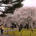 霊宝館庭園のしだれ桜(6)