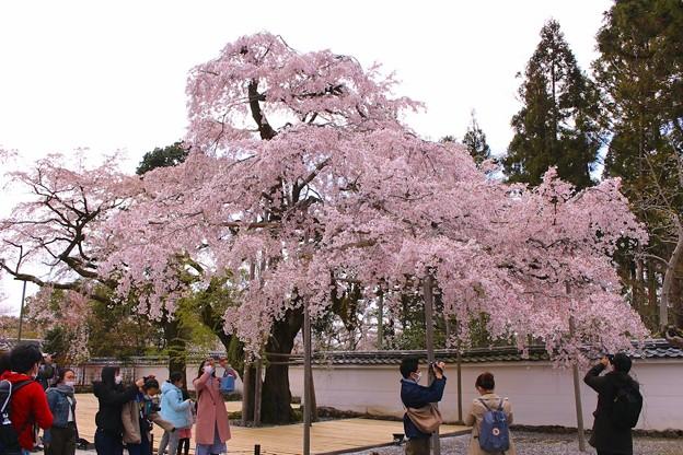 太閤しだれ桜