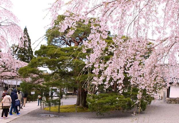 枝垂れ桜と松