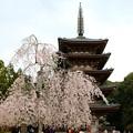五重塔と桜(1)