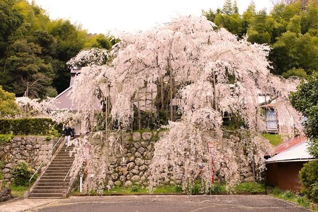 Photos: 舞鶴市瑠璃寺の枝垂れ桜(1)
