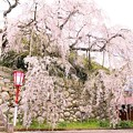 Photos: 舞鶴市瑠璃寺の枝垂れ桜(2)
