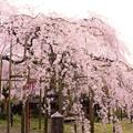 Photos: 舞鶴市瑠璃寺の枝垂れ桜(3)