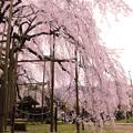 Photos: 舞鶴市瑠璃寺の枝垂れ桜(4)