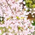 Photos: 舞鶴市瑠璃寺の枝垂れ桜(5)