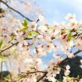 Photos: 舞鶴市瑠璃寺の枝垂れ桜(6)