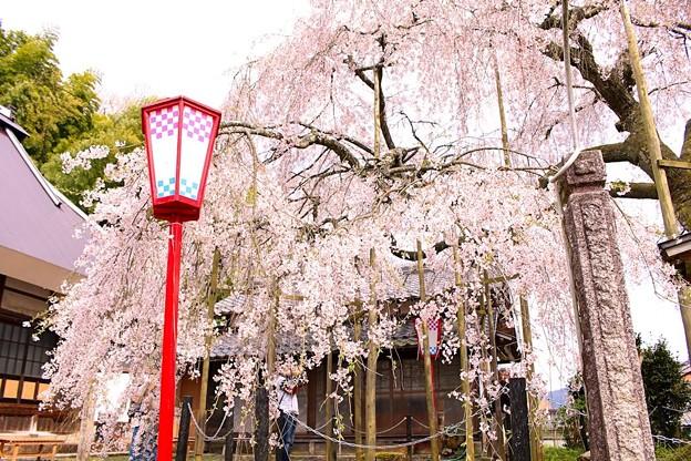 Photos: 舞鶴市瑠璃寺の枝垂れ桜(7)