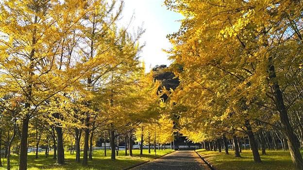 陽光を浴びて輝くイチョウ並木(1)