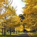 Photos: 陽光を浴びて輝くイチョウ並木(1)