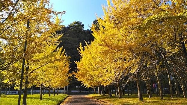 陽光を浴びて輝くイチョウ並木(2)