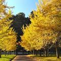 Photos: 陽光を浴びて輝くイチョウ並木(2)