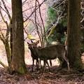 大江山の鹿(1)